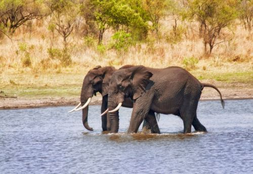 elephants riverbed wading
