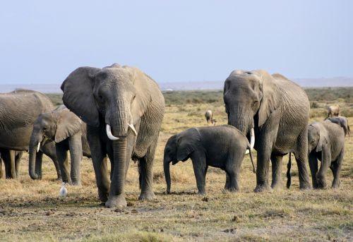 elephants africa kenya