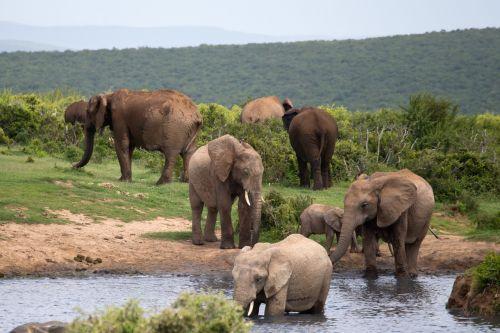 elephants bathing wildlife