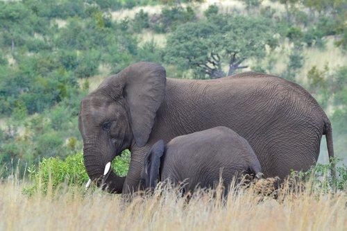 elephants  tusks  trunk