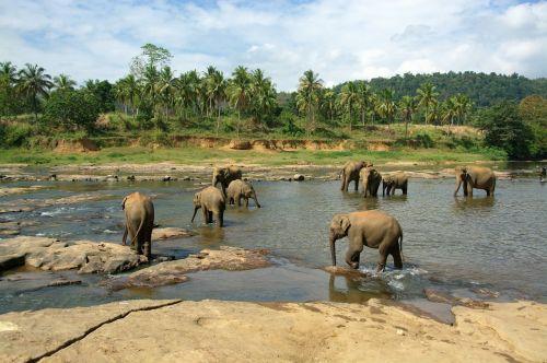 elephants herd animals