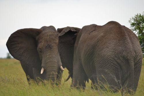 elephants africa wildlife