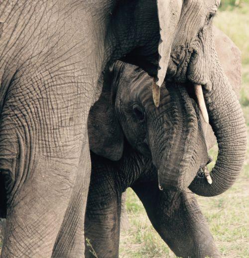 elephants mother animals
