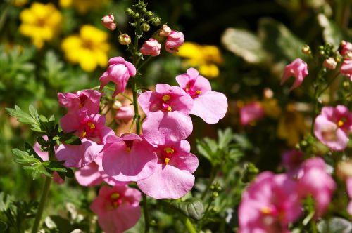 elf mirror flowering plant terrace plant