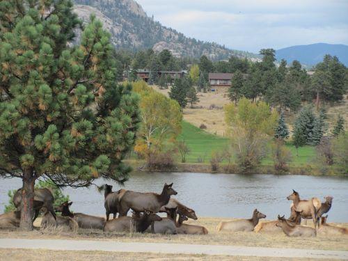 elnelis,laukinė gamta,gamta,Colorado,parkas,kalnai,Estes,gyvūnas