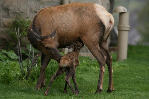 elk cow calf