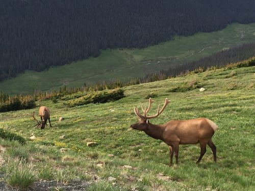 elk rocky mountain national park wildlife