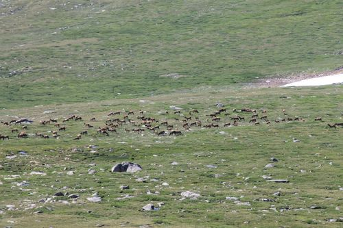 elk herd wildlife