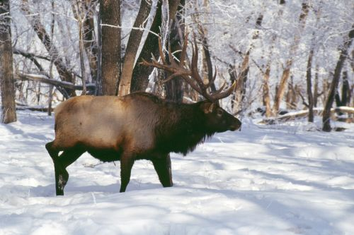 elk hooved animals rut