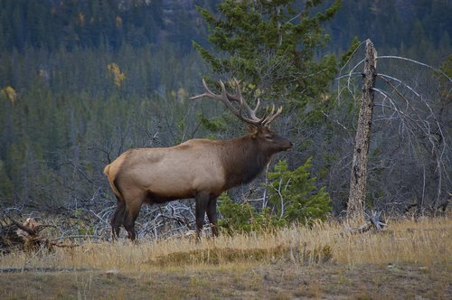 elk  animals  antlers
