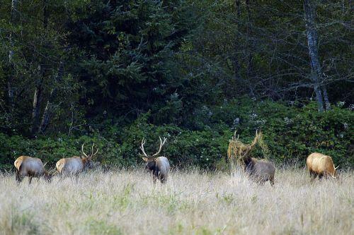 elk herd wildlife