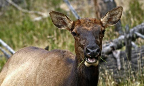 elk female wild