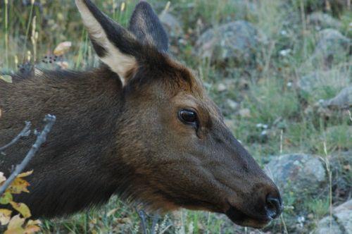 elnelis,uolų kalnų laukinė gamta,Colorado,gamta,laukinė gamta,uolėti kalnai,horizontalus