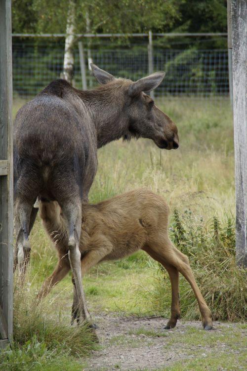 elk park moose elche