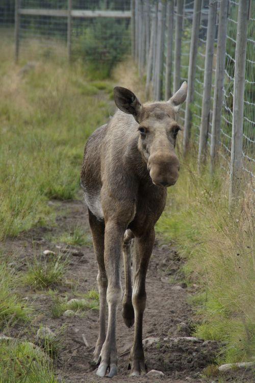 elko parkas,briedis,gaubtas,Švedija,žinduolis,gyvūnas,briedis karvė,zoologijos sodas