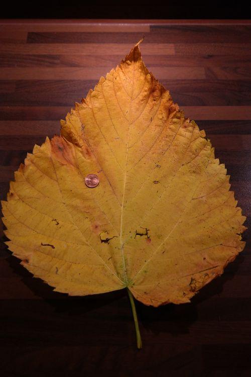 elm leaf mountain elm size comparison