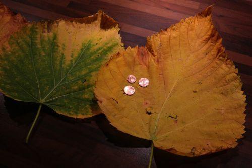 elm leaf mountain elm elm leaves