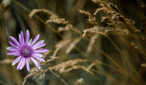 eloquent immortelle immortelle wildflower