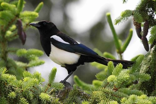 elster magpies birds