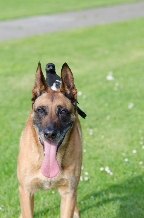 elster malinois animal friendship