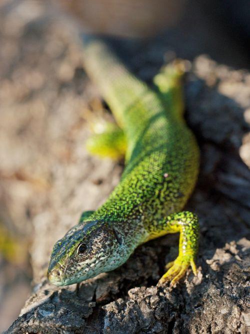 emerald lizard reptile lacerta viridis