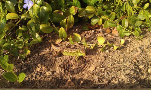 emerald lizard reptile animals