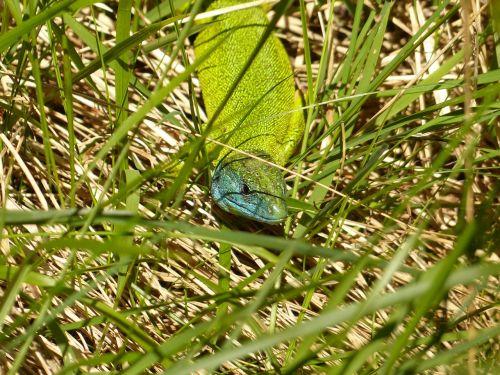 emerald lizard european green lizard lacerta viridis