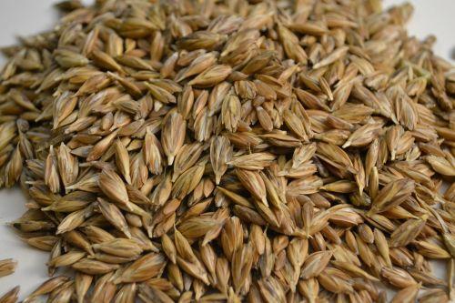 emmer wheat grains