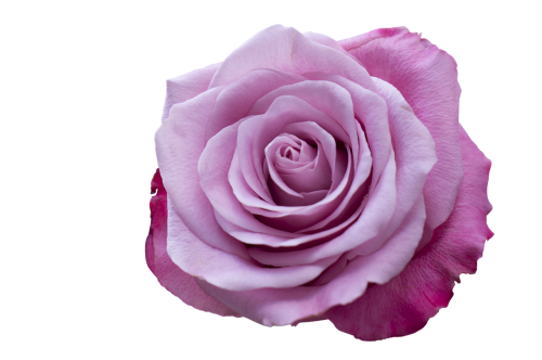 emotion roses pink purple