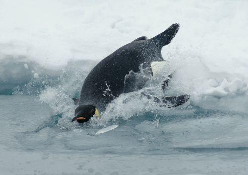 emperor penguin penguin aptenodytes forsteri
