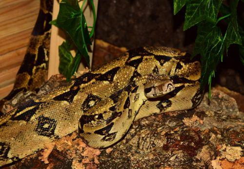 emperor snake boa snake