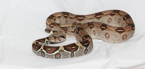 emperor snake red tailed boa boa