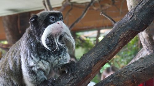 emperor tamarins monkey london zoo