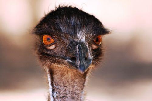 emu head australia