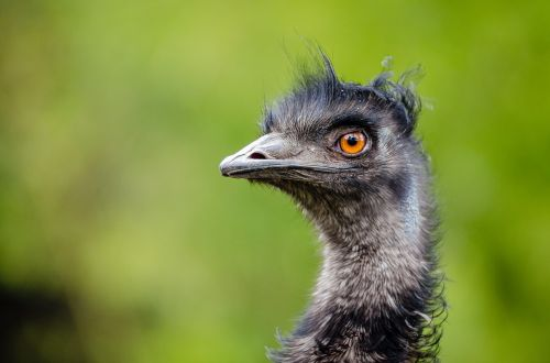 emu bird emu australia