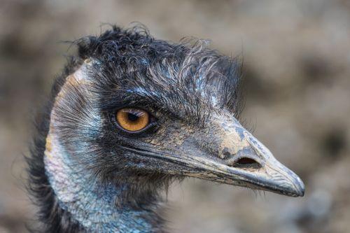 emu flightless bird large emu