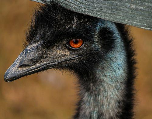 emu large bird bird