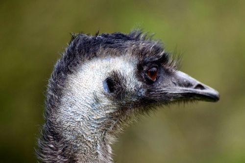 emu flightless bird head