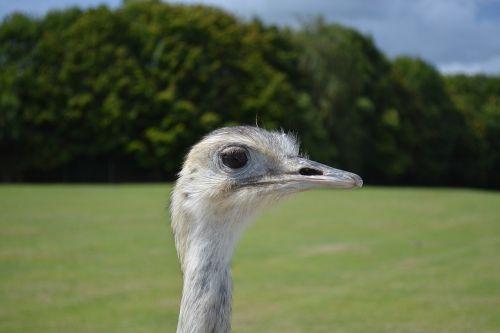 emu animal nature
