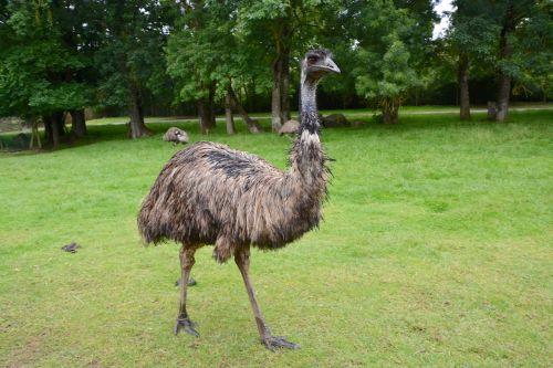 emu big bird feathers
