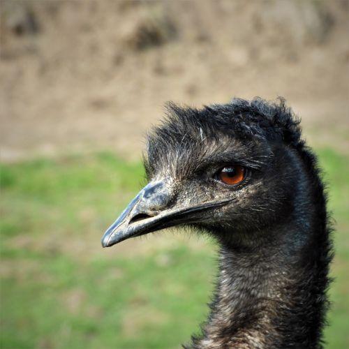emu eye bill