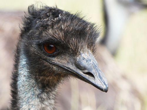 emu emu head eye