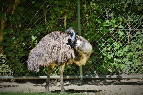 emu flightless bird bird