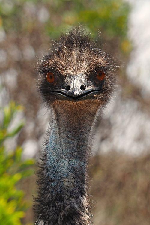 emu inquisitive bird