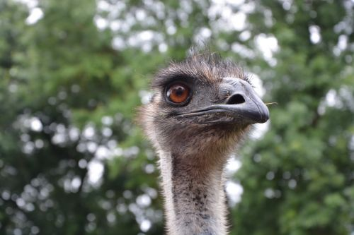 emu head profile head emu