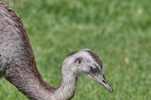 emu  bird  large emu