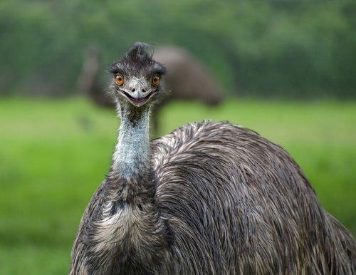emu  smile  bird