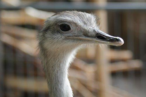 emu  zoo  flightless bird