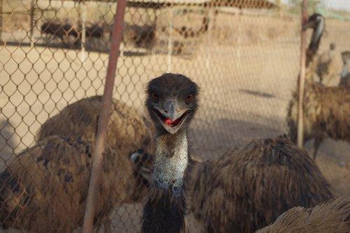 emu  strange bird  virar