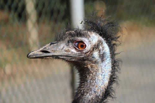 emu  bird  animal